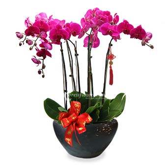 Regal Beauty (CNY 6 stalks Orchid Arrangement)