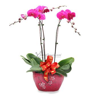 Ritzy Belle (CNY 3 stalks Orchid Arrangement)