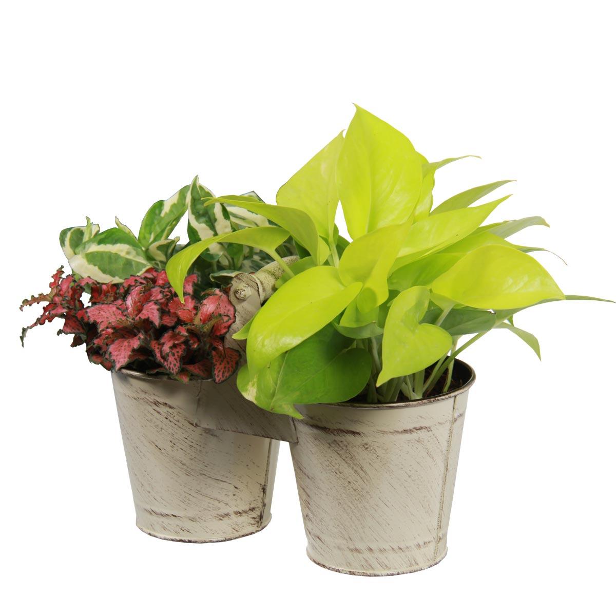 PS1701 Tropical Harvest plants
