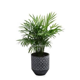 Green Thumbs (Bamboo Plant)