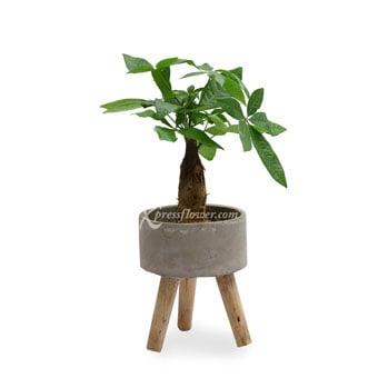 Zen Garden (Money Tree)