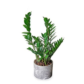 Lush Life (Zamioculcas Zamiifolia Plant)