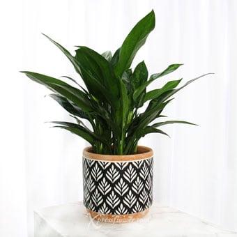 Amazonian Wonder (Aglaonema 'Malay Beauty' Plant)