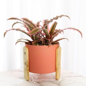 Mini Crimson (Cryptanthus Bivittatus Plant)