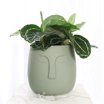 Olive Superstar (Calathea Picturata 'Vandenheckei' Plant)