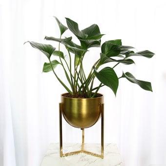 Golden Goblet (Homalomena Plant)