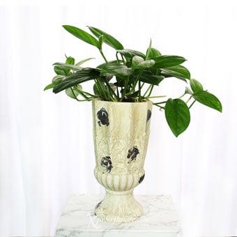 Flourishing Renaissance (Epipremnum Pinnatum Plant)