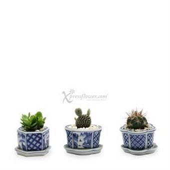 Cacti Medley