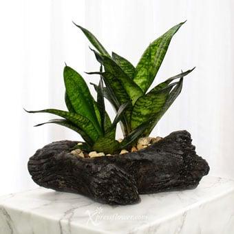 Grand Timber (Snake Skin Sansevieria Plant)