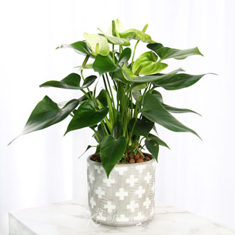 Star-crossed Beauty (White Anthurium Plant)