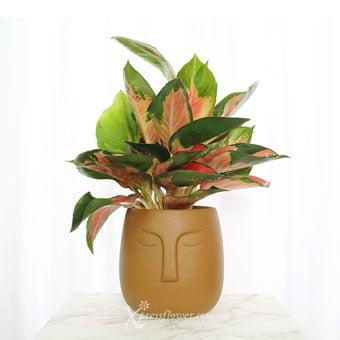 Terracotta Goddess (Aglaonema Plant)