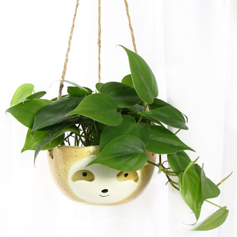 Mr. Cool Sloth (Philodendron Scandens Plant)