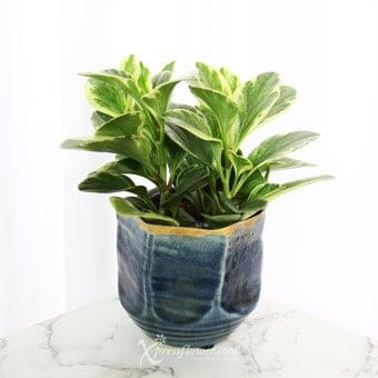 Purifying Azure (Peperomia Plant)