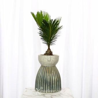 Zesty Cycas (Cycas Plant)