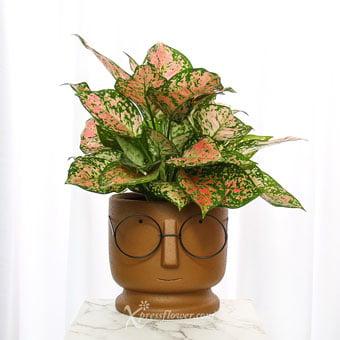 Bookworm Stud (Aglaonema Plant)