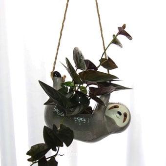 Smokey Sloth Hugs (Syngonium Chocolate Plant)