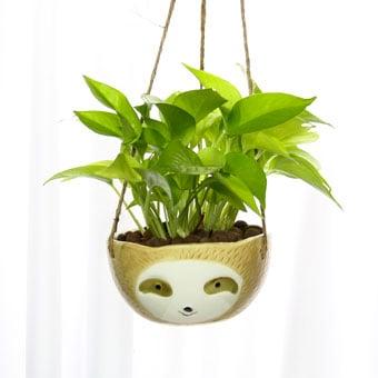 Bountiful Smirk (Money Plant)